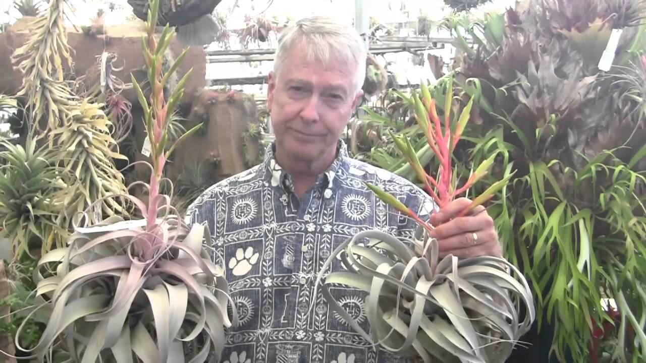 Paul Isley Rainforest Flora Tillandsia Hybrids 5 Youtube