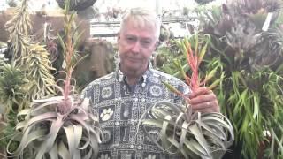 Paul Isley / Rainforest Flora - Tillandsia Hybrids 5