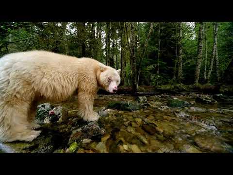 Great Bear Rainforest - Spirit Bears Fishing For Salmon