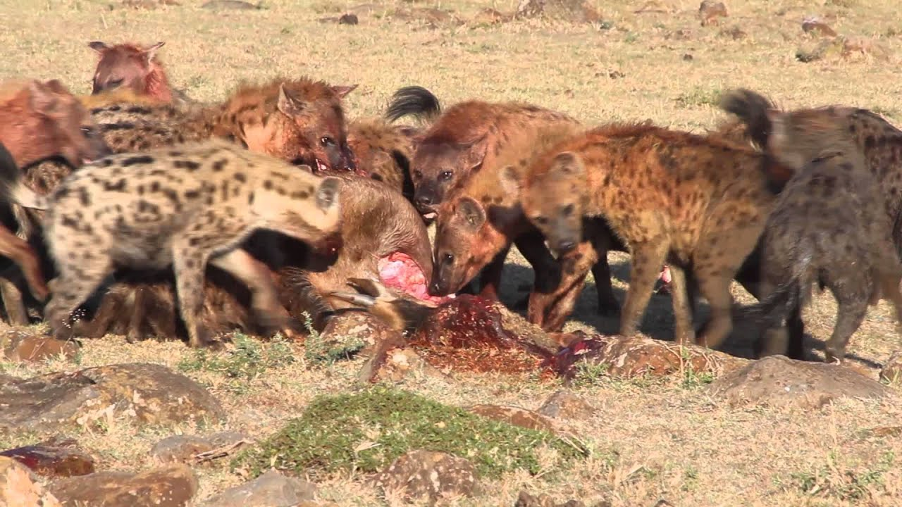 What Eats African Wild Dogs