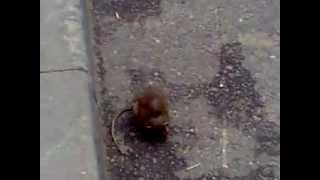 Живая крыса в центре мегаполиса (The rat eats man)
