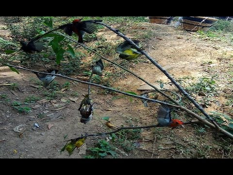 pikat burung Kolibri dapat banyak menggunkan mp3 Mp3