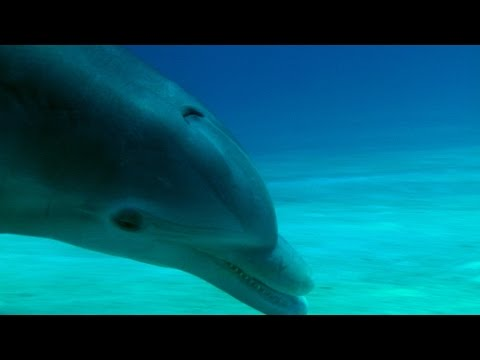 The advanced hunting strategy of a dolphin - The Wonder of Animals: Episode 9 - BBC Four