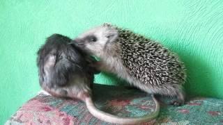 Ежа и крыса Пу