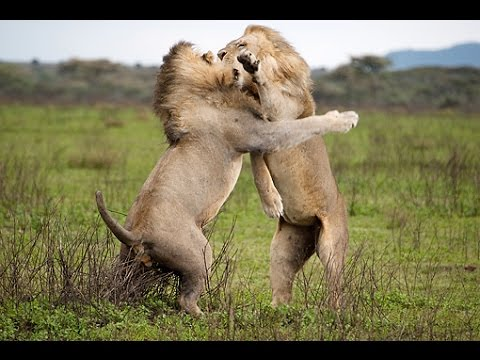 African lion fighting dog