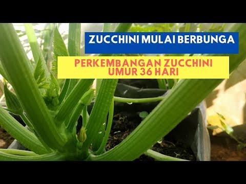 Perkembangan Tanaman Zucchini di Bengkulu | Zucchini Umur 36 Hari