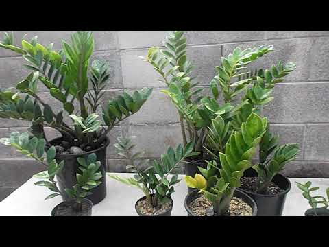 ZZ Plant🌿 Propagation and Care🌿