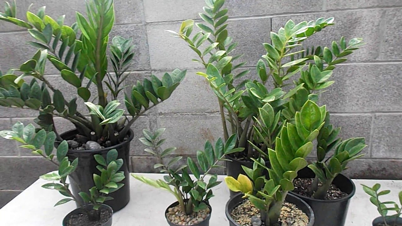 ZZ Plant🌿 Zamioculcas zamiifolia 🌿 Propagation and Care ... on Zz Plant Care  id=76271