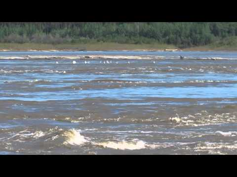 Hay river with pelicans at Fort Smith, NWT