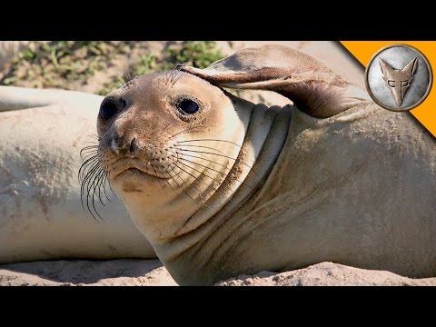 Thumbnail: Elephant Seal Research Mission!