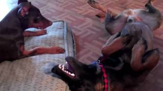 Doberman Vs Malinois Play Dog Fight