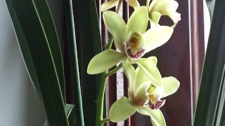 видео Цветок орхидея цимбидиум: уход в домашних условиях.