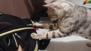 Бенгальский кот и его переноска.