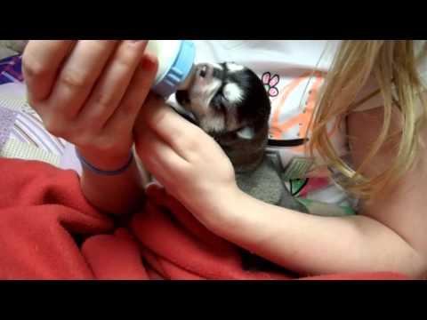 one week old Alaskan Klee Kai puppy being bottle fed