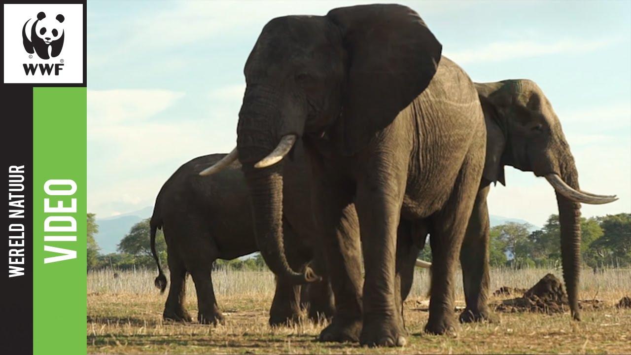 hoe oud kunnen olifanten worden