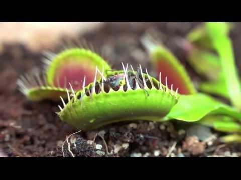 Венерина мухоловка ест жука (dionea muscipula)
