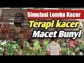 Simulasi Lomba Kacer Cocok Untuk Pancingan Kacer Agar Gacor Ngobra  Mp3 - Mp4 Download
