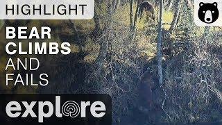 Bear Tries To Climb And Fails - Brown Bear Live Cam Highlight 10/21/17