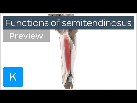 Functions of the semitendinosus muscle (preview) 3D Human Anatomy |Kenhub