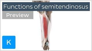 Functions of the semitendinosus muscle (preview) - 3D Human Anatomy  Kenhub