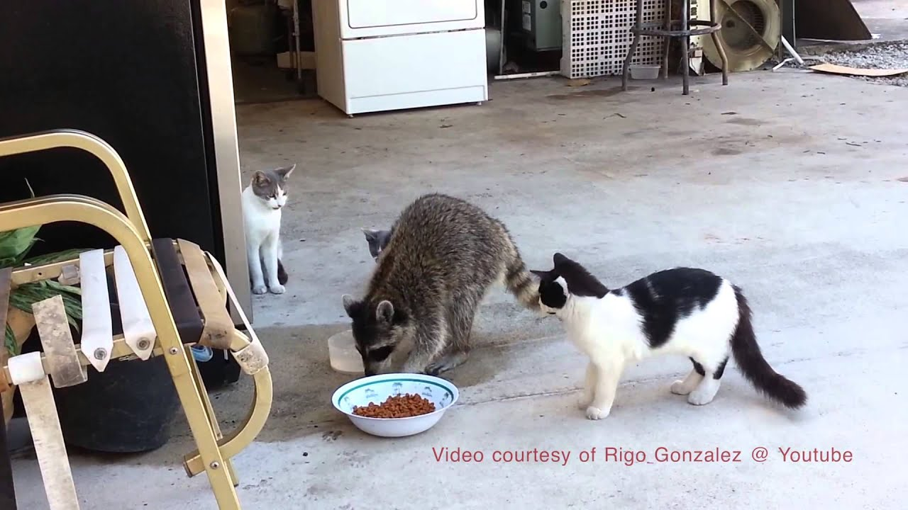 Raccoon Steals Cat Food Commentary
