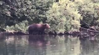 Morning Motivation - from KODIAK, ALASKA - Stay Hungry (like a wolf...err..BEAR) 🐻