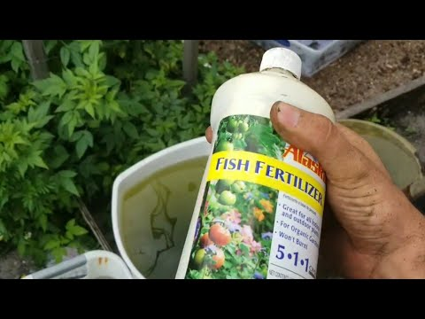 How To Use Fish Emulsion Fertilizer