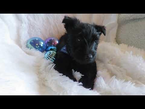 Brandin Akc Scottie Boy Blue Ribbon Scottish Terrier Puppy