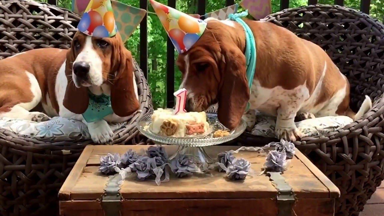 Basset Hound First Birthday Happy Birthday Sherlock