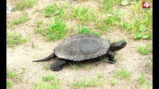 В объективе натуралиста. Болотная черепаха. 29.05.2019