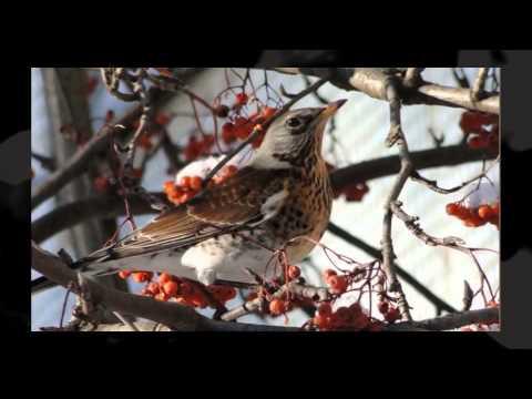 Зимующие птицы России       ///      topkate.net