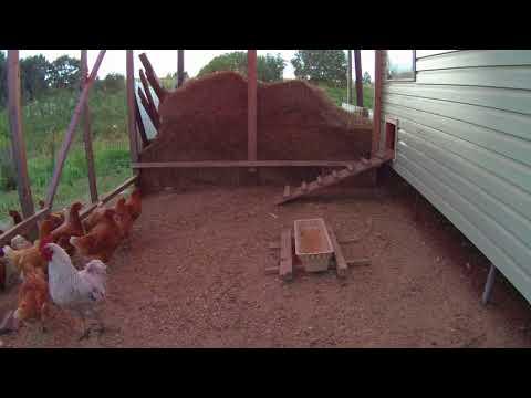 Как курицы идут спать в курятник.