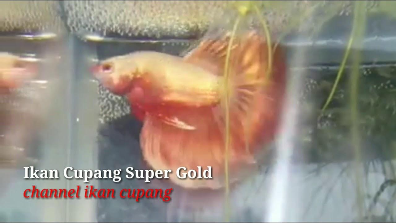 Warna Ikan Cupang Gold 24 Karat Youtube