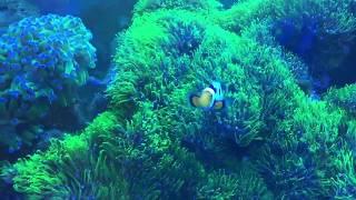 Video star polyps coral | saltwater tank download MP3, 3GP, MP4, WEBM, AVI, FLV Maret 2018