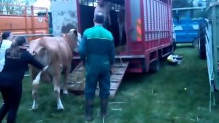 On rentre les bétail du comice #2