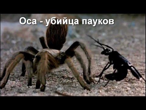 Версус. Оса наездник - кошмар для пауков!
