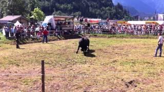 Stechfest Ringkuhkampf Fiesch