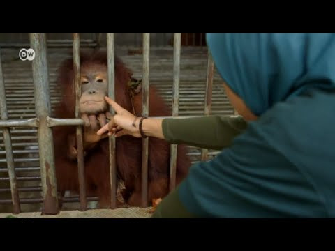 Indonesia - Help for Orangutans | Global 3000