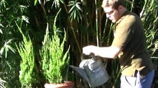 *Plant Torulosa Juniper Shrub/Bush* +Juniperus chinensis Torulosa+