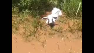 vuclip Anaconda eating a cow in Brazil