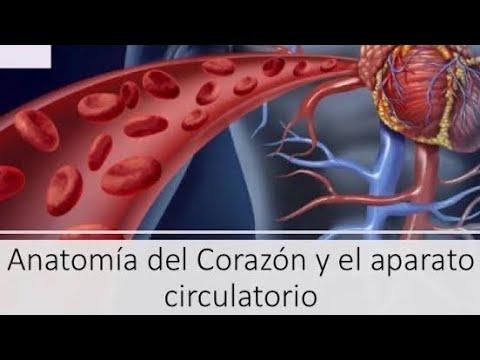 Anatomía básica del corazón - YouTube