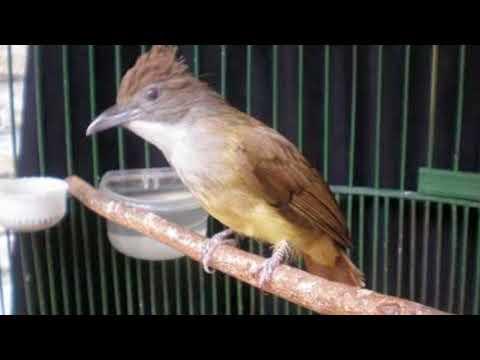 Cara Memancing Burung Kapas Tembak Yang Malaes Bunyi Agar Racin Gacor Dan Ngplong