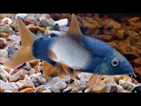 Аквариумные рыбки    Видео для начинающих   1 выпуск