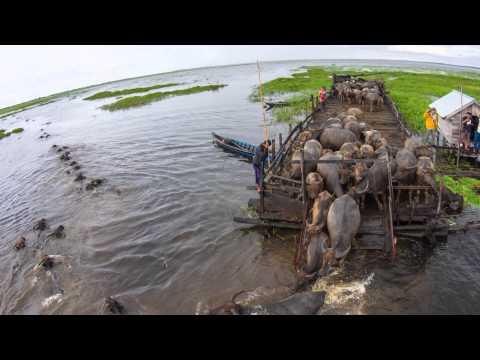 Kerbau Rawa di Danau Panggang Kalimantan Selatan.
