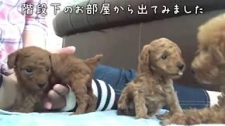 撮影日 2017年5月20日 ロージー 1歳10ヶ月 シェリジェム 生後31日目 シ...