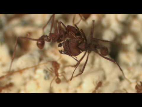 Leafcutting Ants: Cleaning and Battle