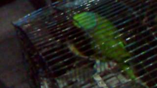 CUTE  TALKING GREEN PAKISTANI PARROT