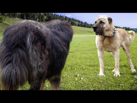 kangal-vs-tibetan-mastiff---dog-videos-[mr-fenley]