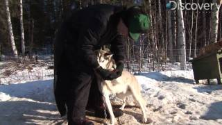 Iditarod: A Tough Journey for Dogs