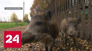 В Москве дикие животные осваивают жилые микрорайоны - Россия 24